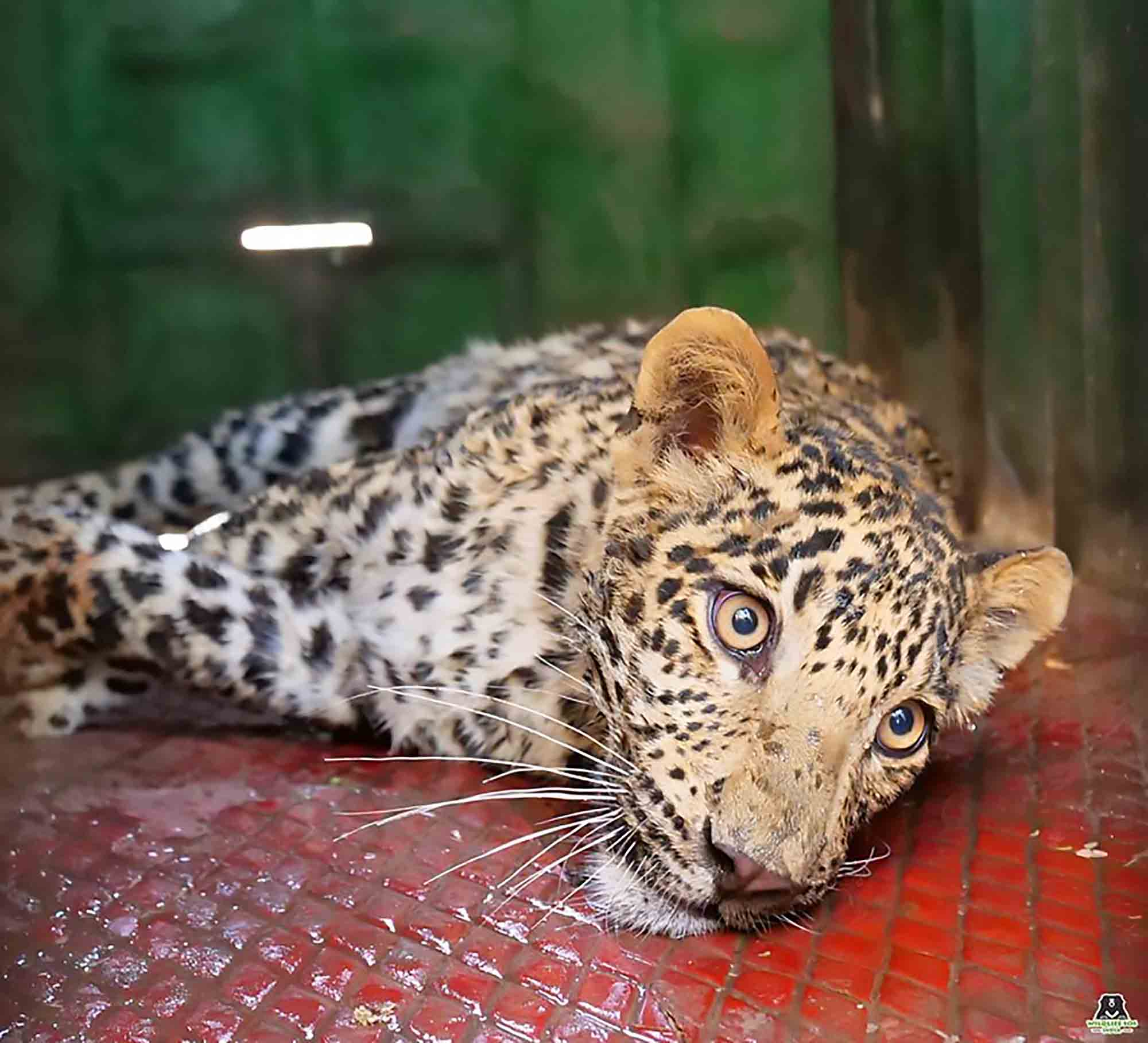 Vet Saves Leopard From Deadly Jaws Of Poachers Trap - ViralTab