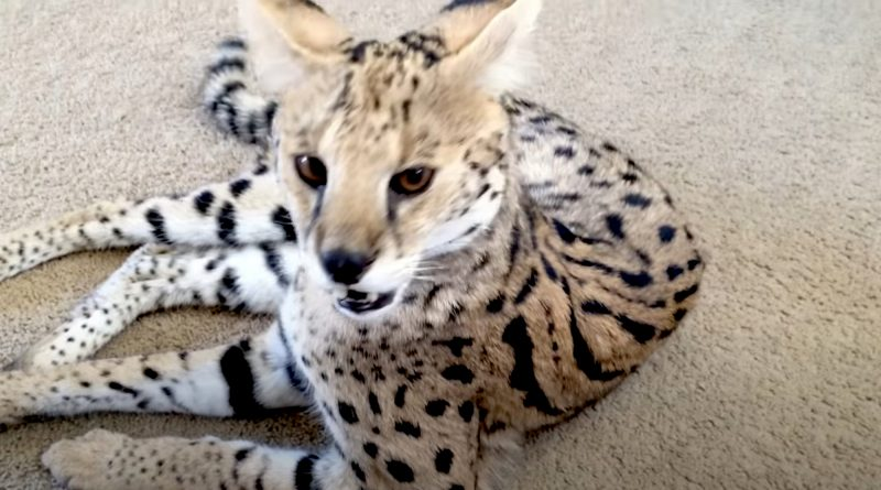 Couple Who Ordered Kitten Were Sent Tiger Instead