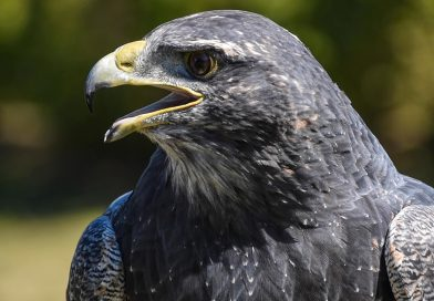 'Talon-ted' Vets: Medics Save Eagle Mutilated by Traffickers