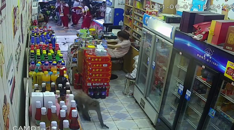 Moment Monkey Steals Canned Drink As Panicked Worker Runs Out Of Store